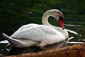 Jóvenes destruyen nido y huevos de cisne; ave muere con el 'corazón roto'